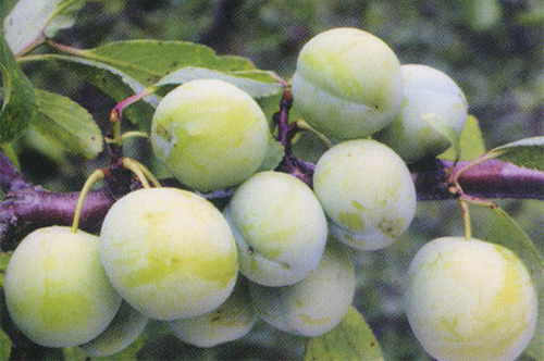 Chinesische Pflaumen zum Abnehmen von Obstpflanzen