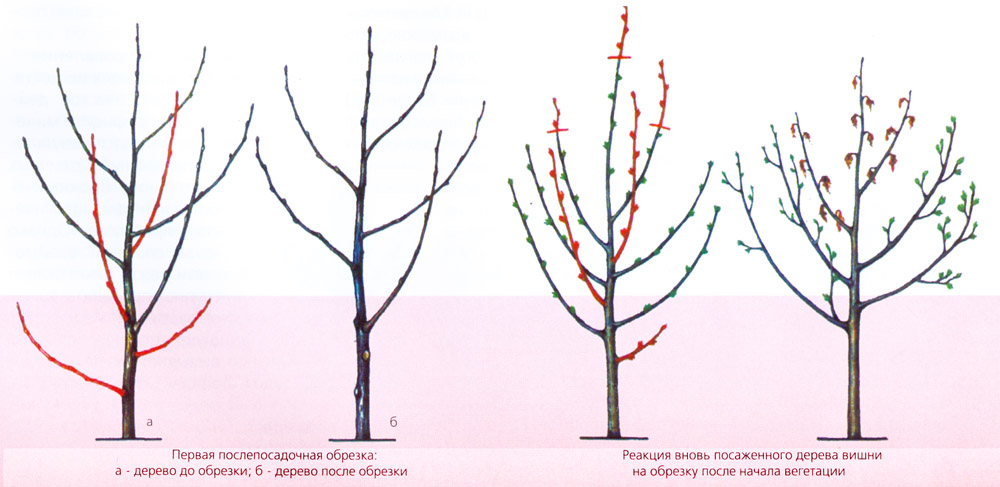 Вишня дерево на каком расстоянии сажать 67