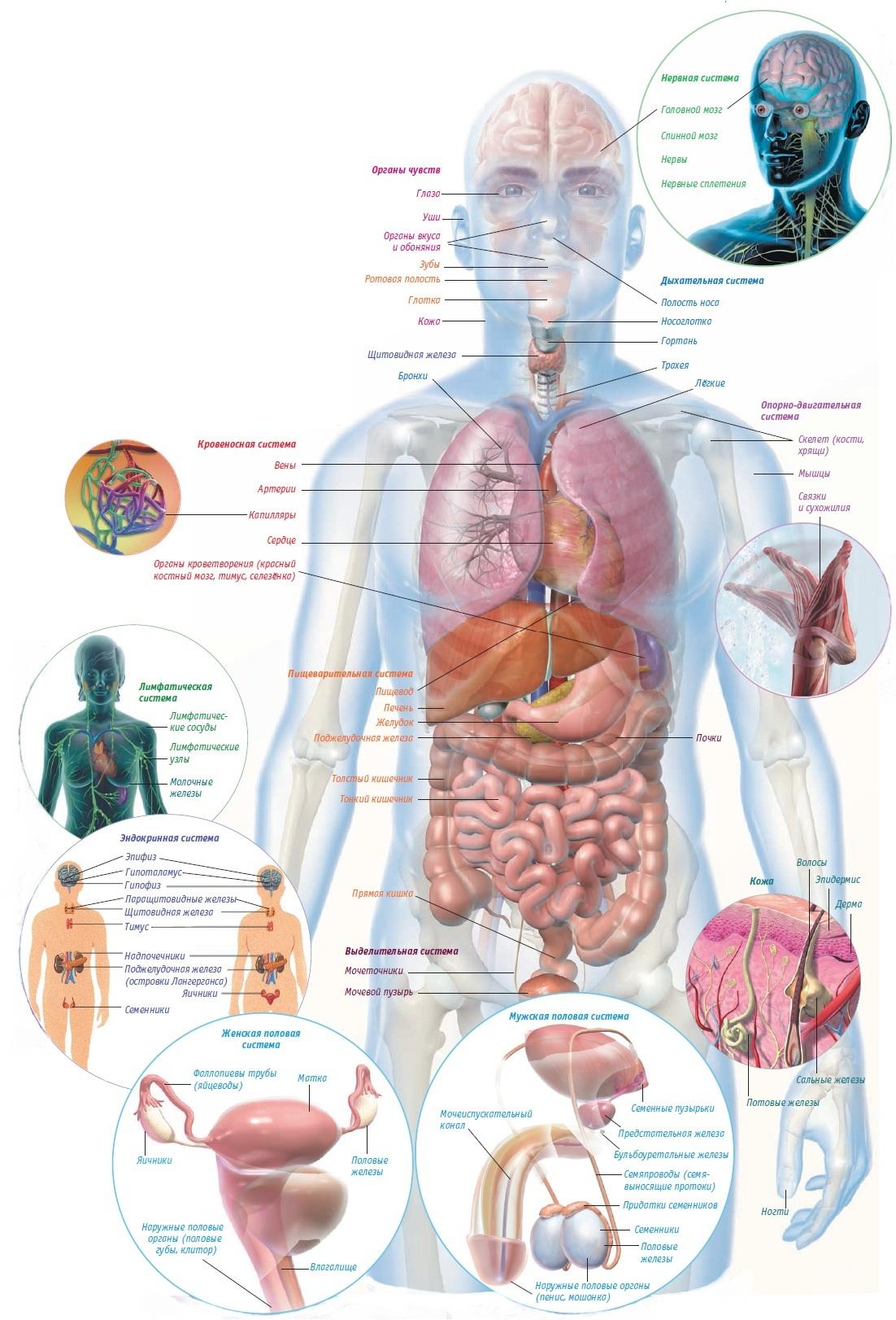 Welche Organe sind im Kofferraum? Wie sind Organe lokalisiert?