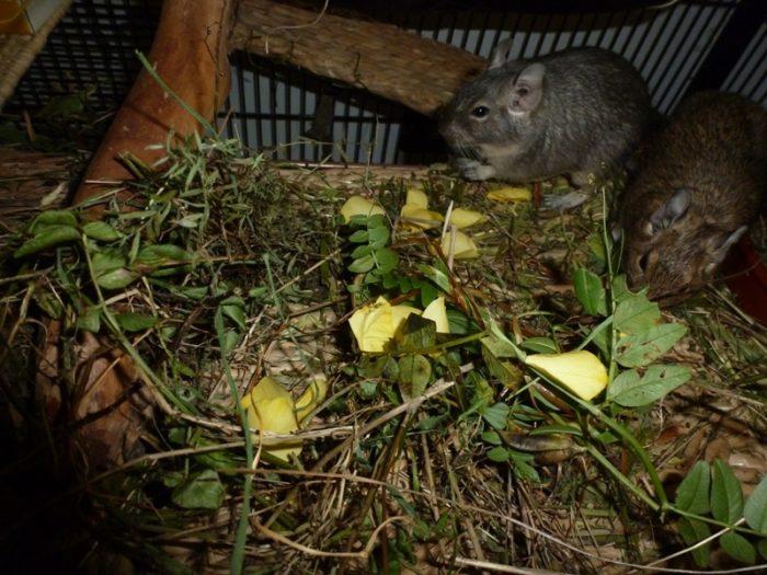 Maus mit einer langen Nase. Dekorative Nagetiere und kleine Säugetiere